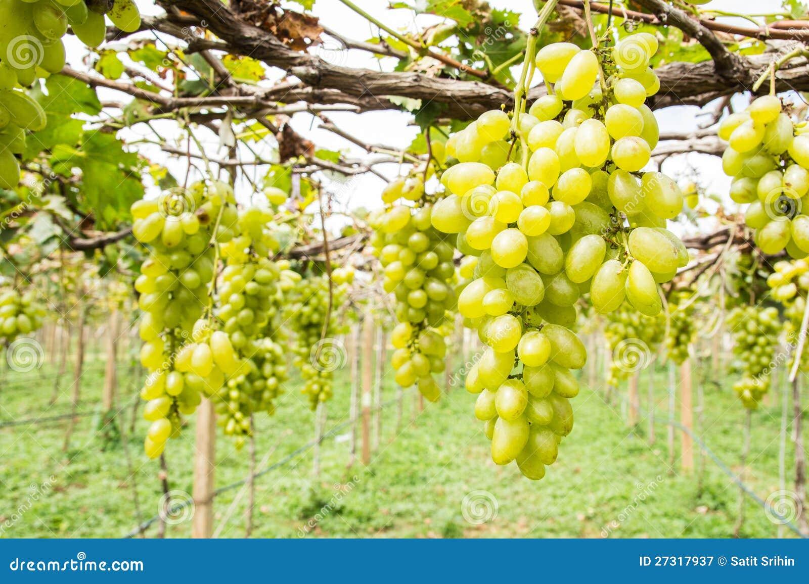 vineyard business plan