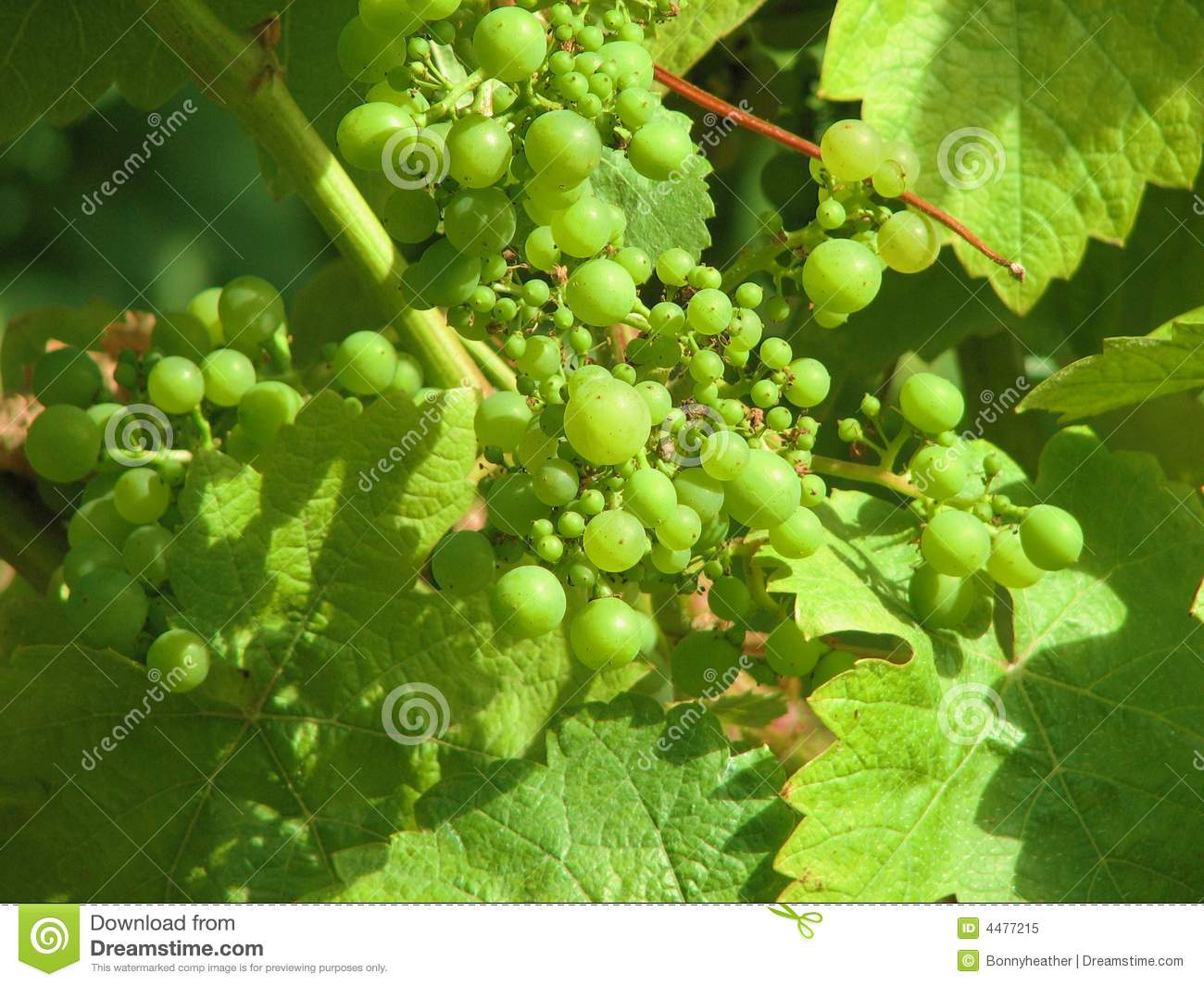 Green Grapes Nearing Harvest Time Royalty Free Stock Photo ...