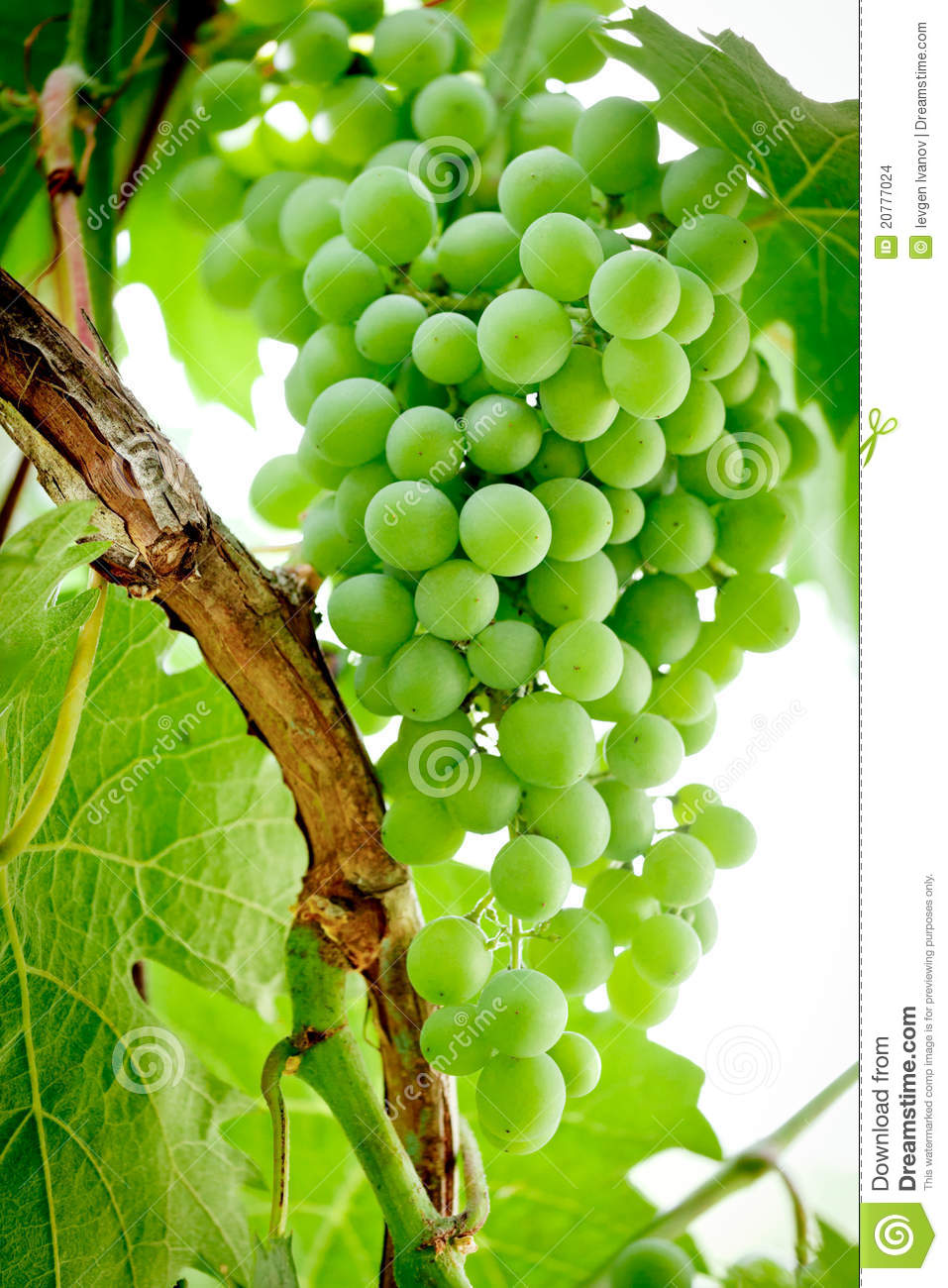 Green Grapes On The Vine Stock Images Image 20777024