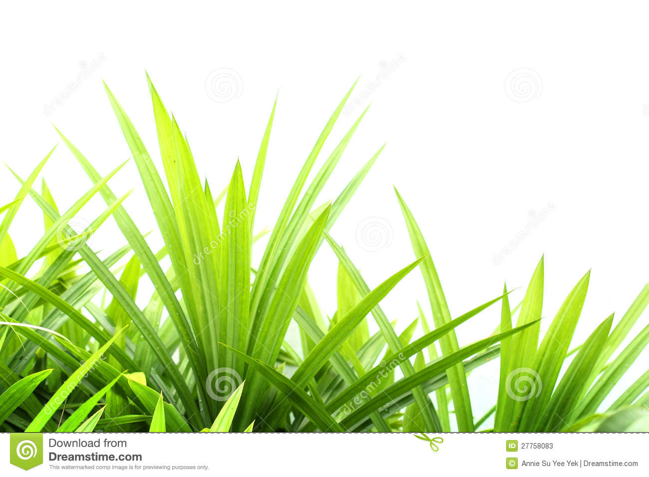 why is the grass green on The grass in affected areas turns light green first then straw brown often the fungus forms a ring leaving a patch of green in the center if left uncontrolled, the damage can reoccur year after year.