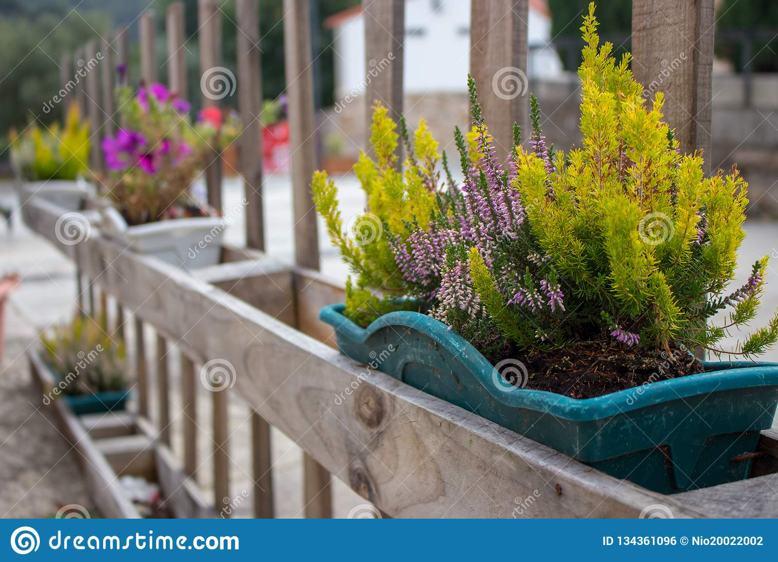 Green grass and blooming flowers in flower pots on fence. Flower containers on wooden fence in perspective. Terrace design.