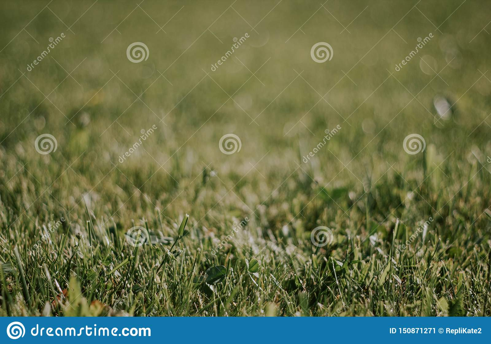 Green grass close-up. Beautiful lawn. The texture of green grass on the field. Background with grass
