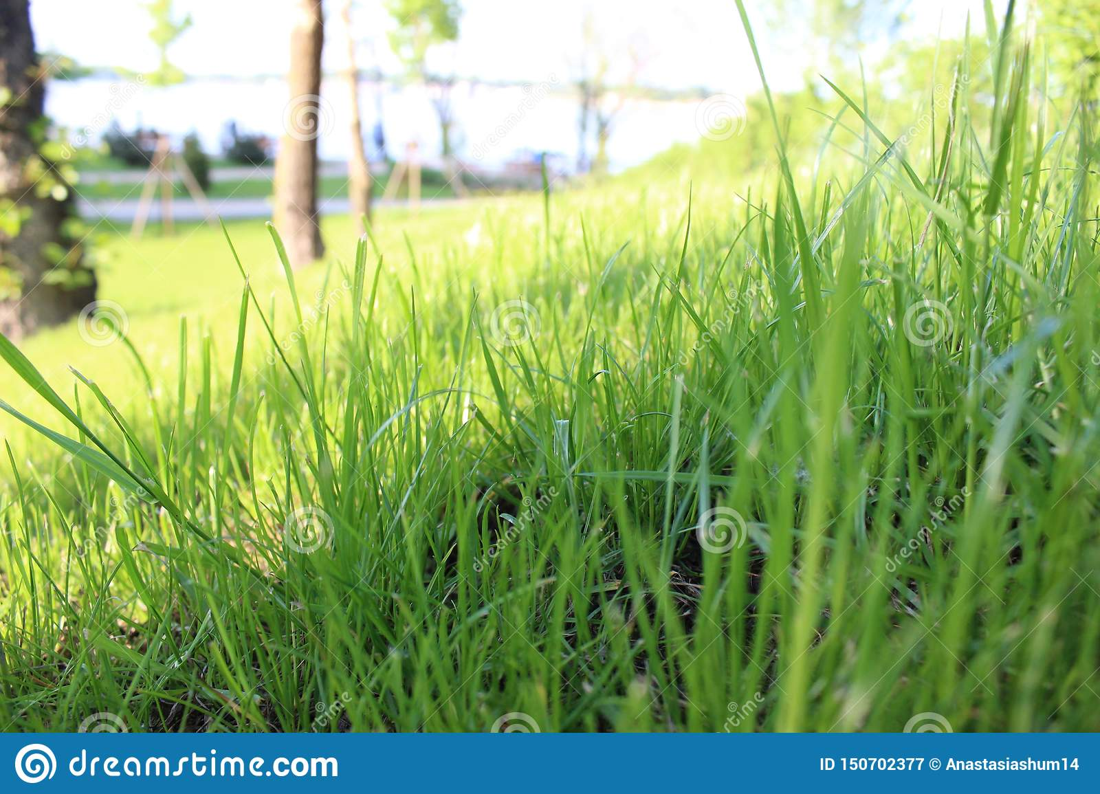 Green grass close up. Sunshine spring and summer day background.