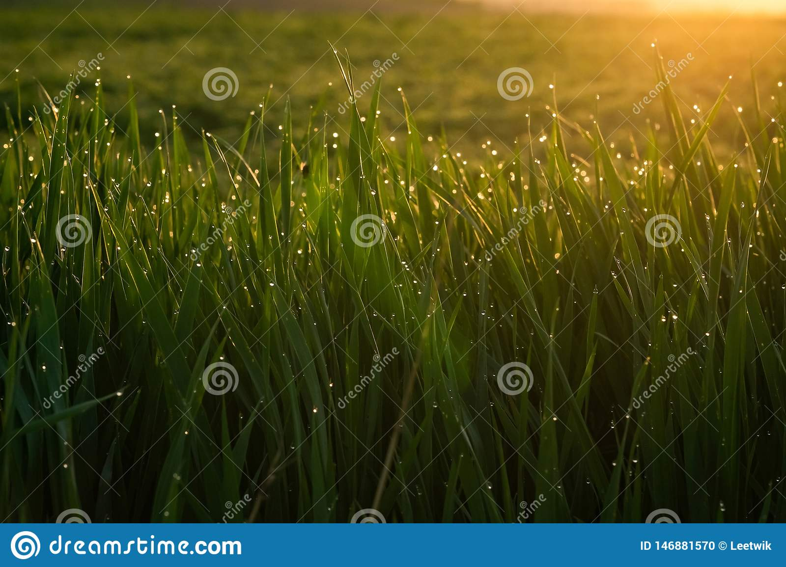 Green grass with drops of dew at sunrise in spring in the sunlight background beauty of nature awakening vegetation concept