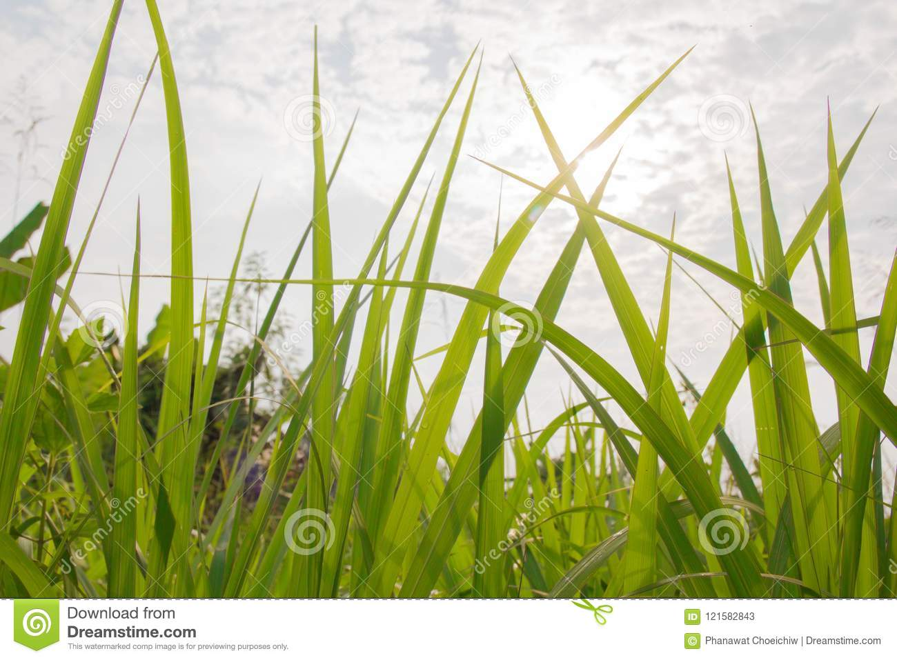 Green Meadow Close-Up With Bright Sunlight. Sunny Spring Background.grass