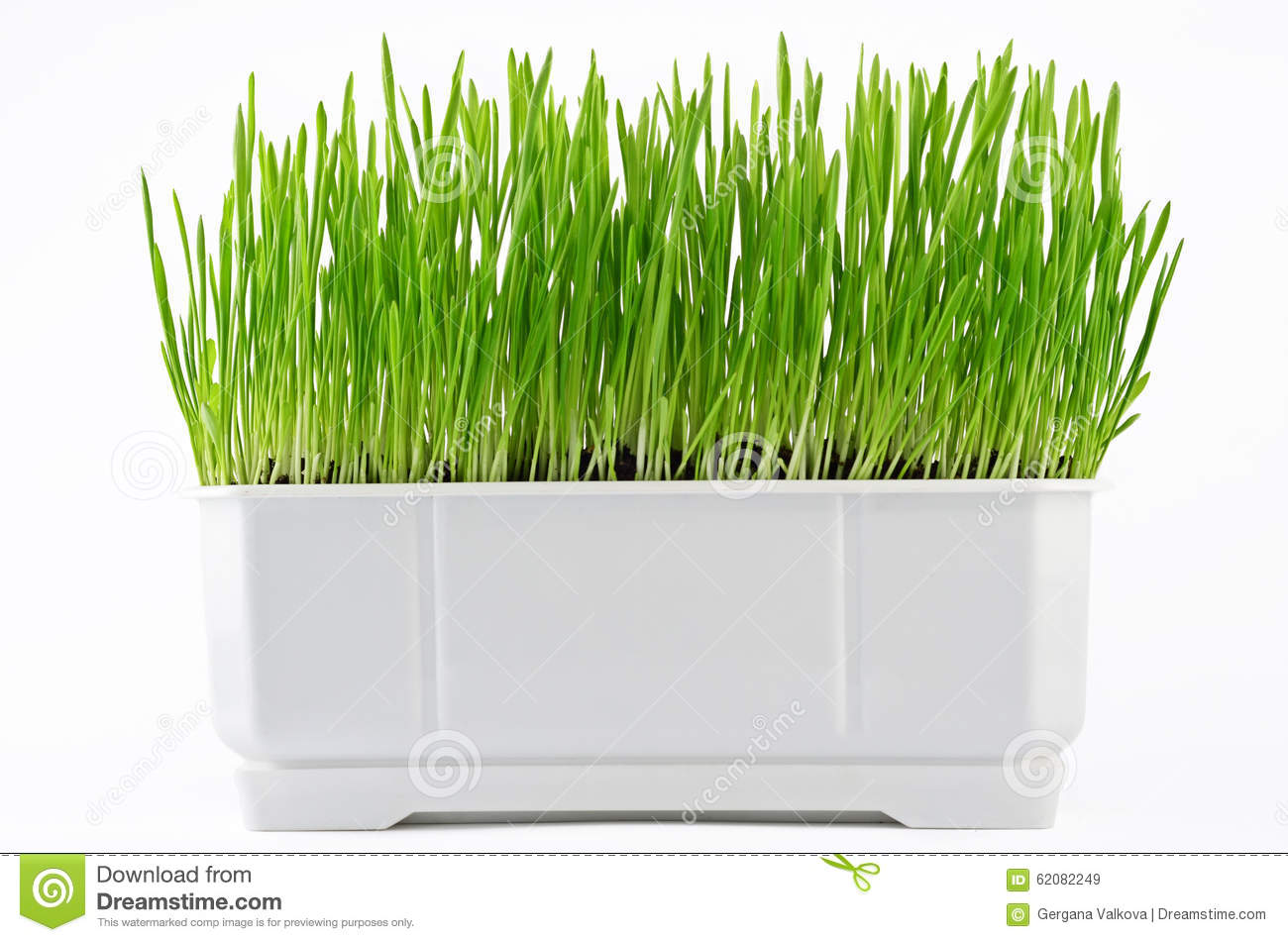 Green grass in pot with water drops isolated on white for Vasi erba