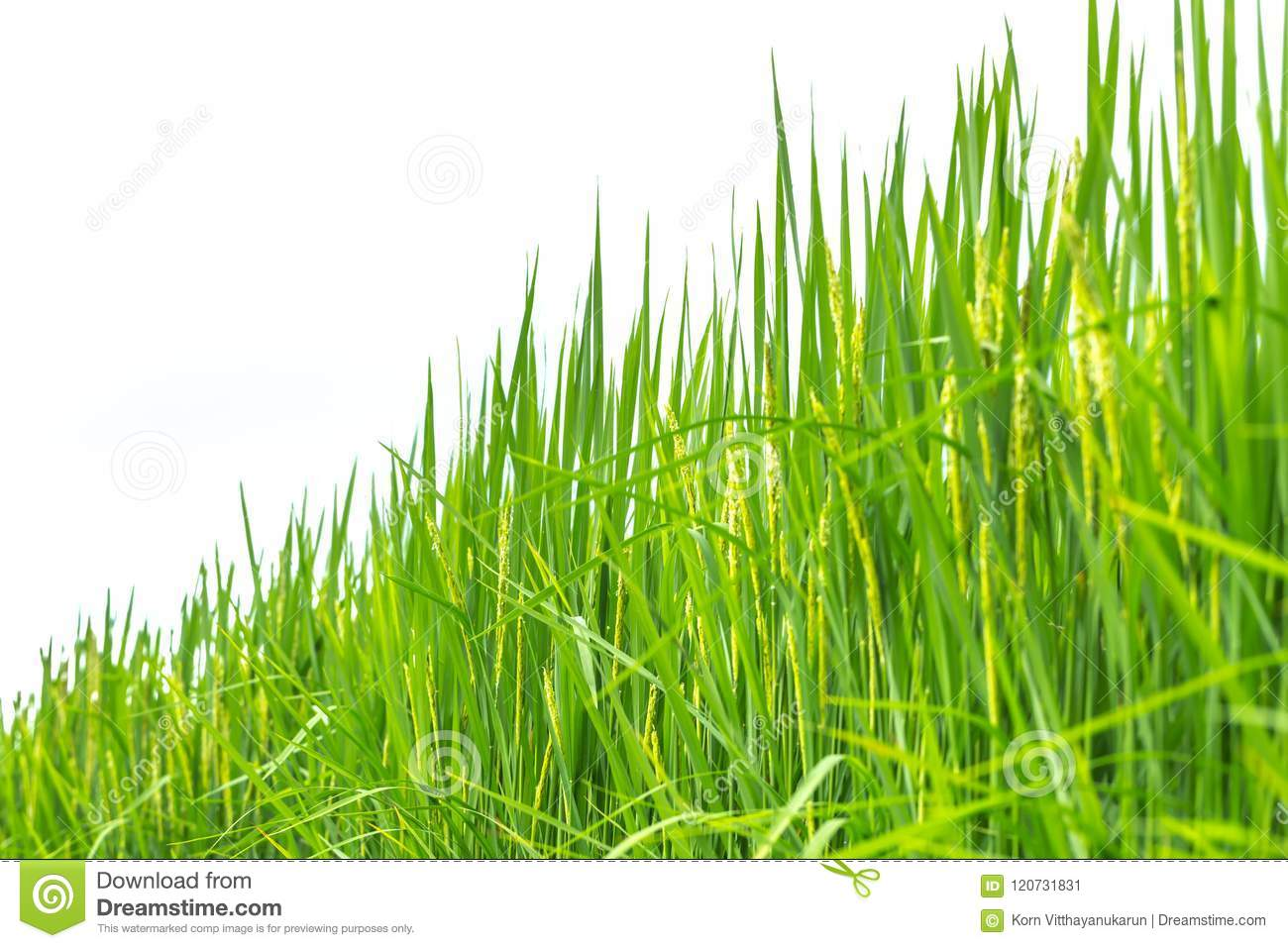 Green grass rice plant isolated