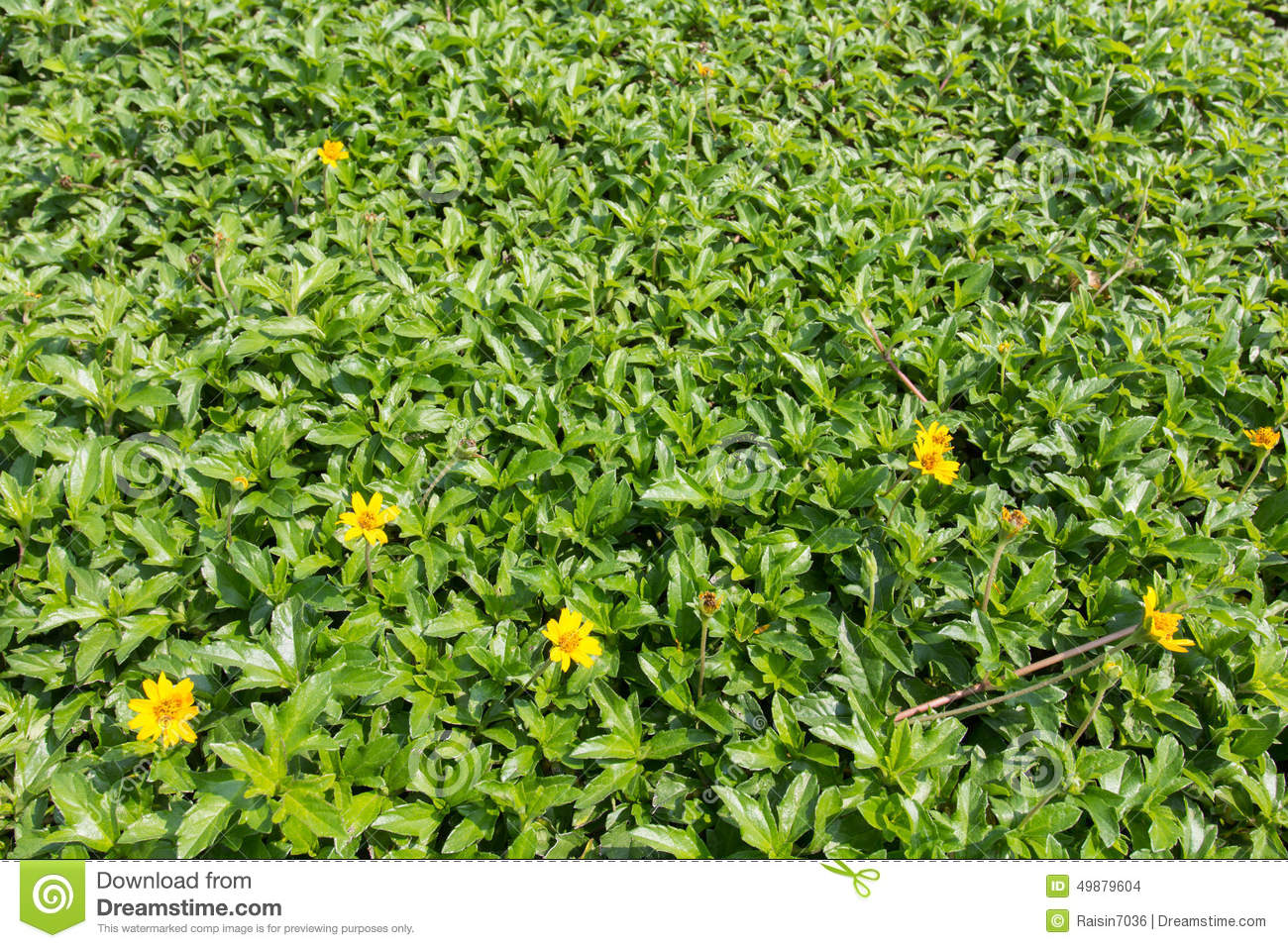 Green Grass With Small Flower  Stock Photo - Image of leaf