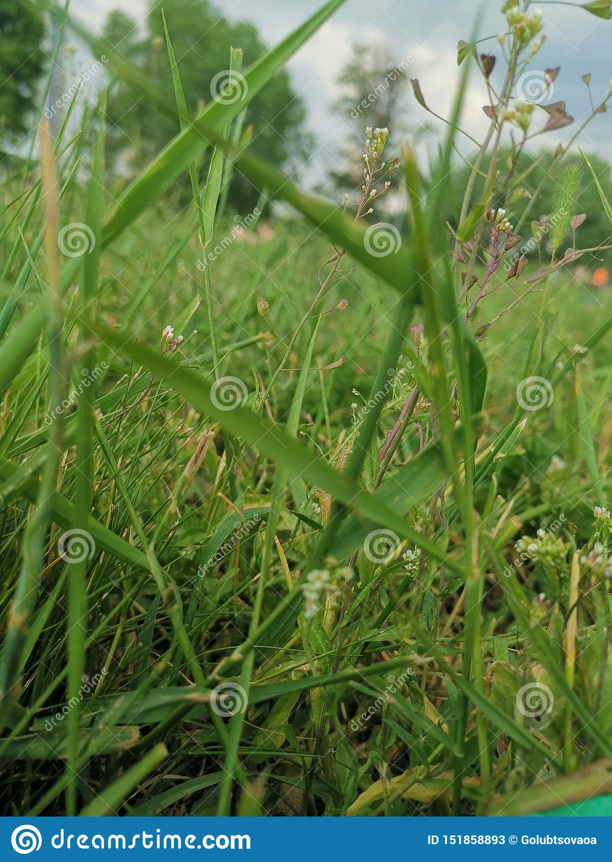 Green Grass In The Sunny Summer Of 2019 Russia