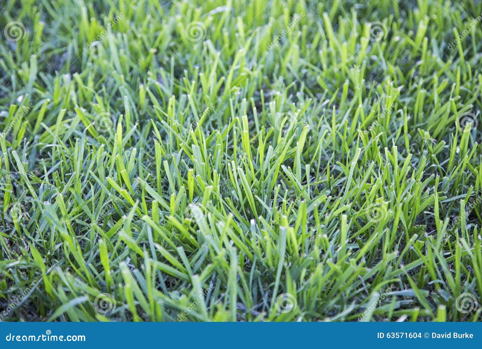 tall green grass field. Download Green Grass Tall Uncut Yard Field Stock Photo - Image Of Bright, Landscape: D