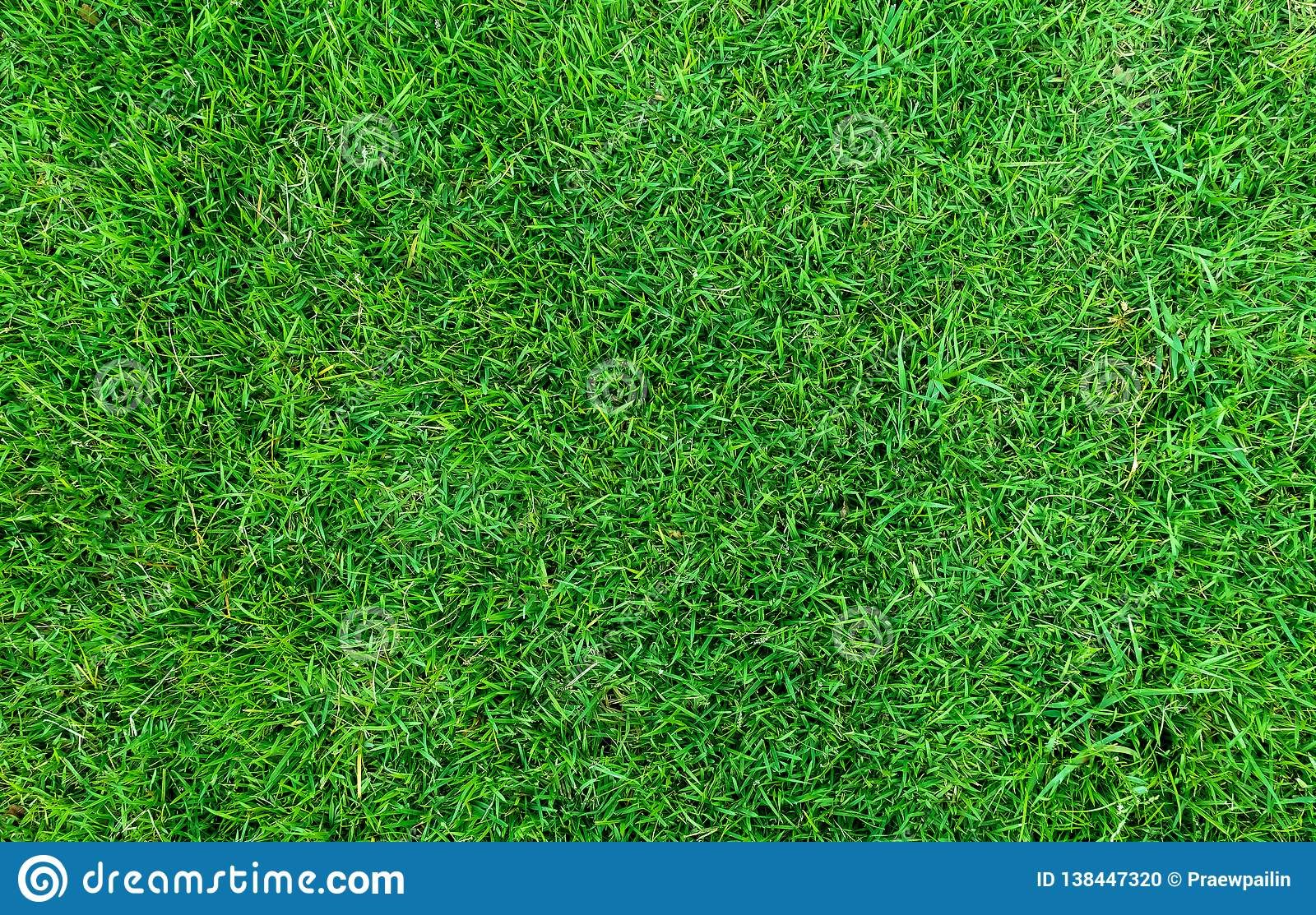 Green grass texture for background. Green lawn pattern and texture background. Close-up