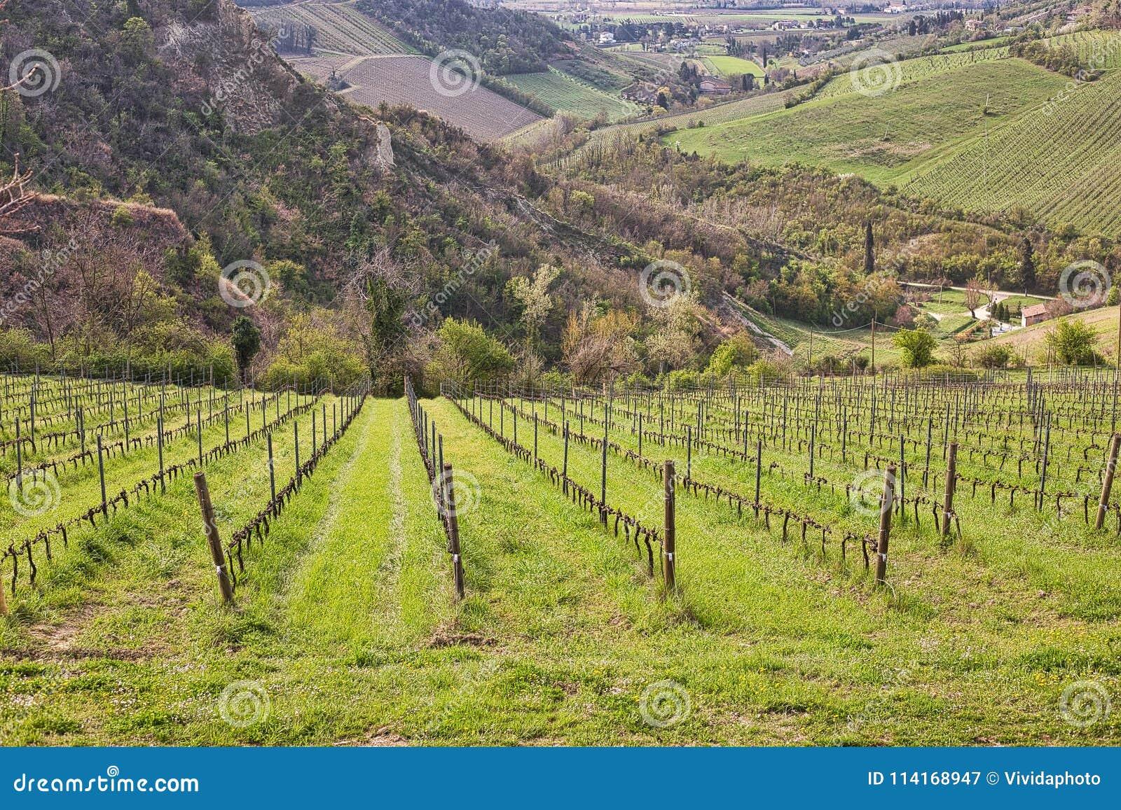 Green grass in vineyard fields