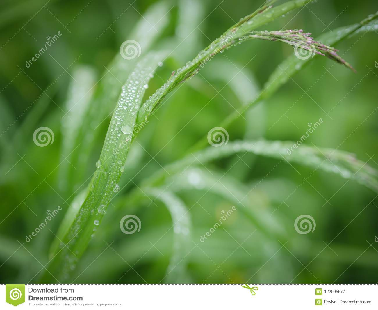 Green Grass With Water Drops. Stock Image
