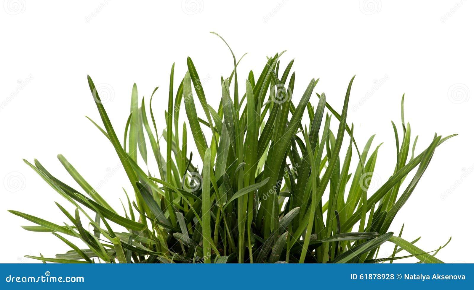 green grass white background sedge stock photo image