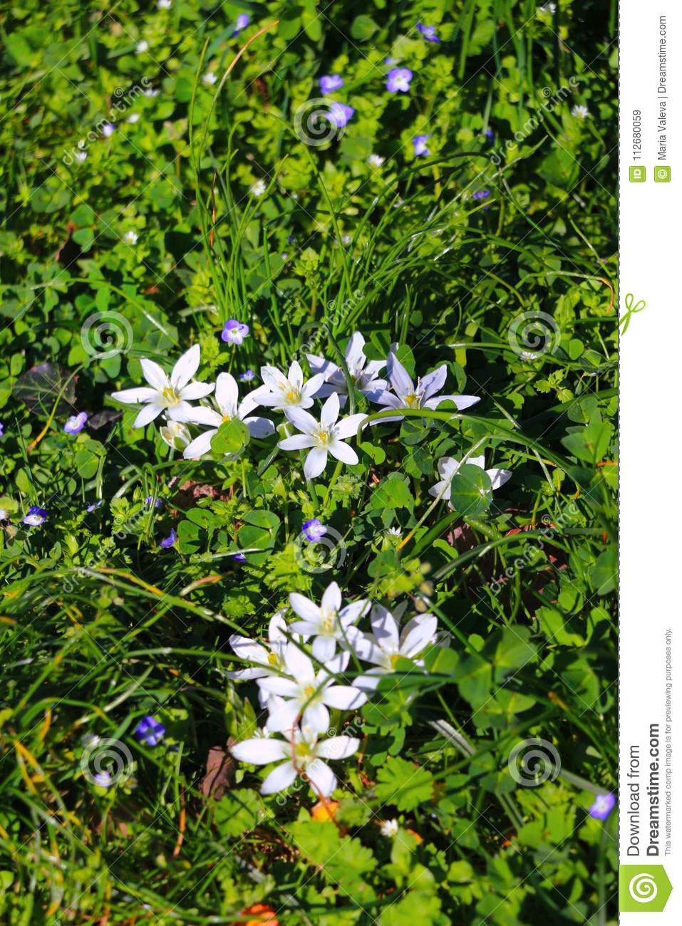 Green Grass With White Flowers Stock Image Image Of Sunny