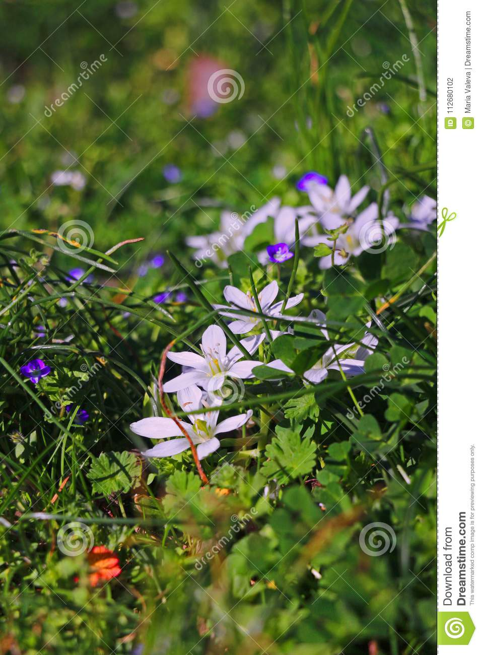 Green Grass With White Flowers Stock Photo Image Of Seasonal Pink