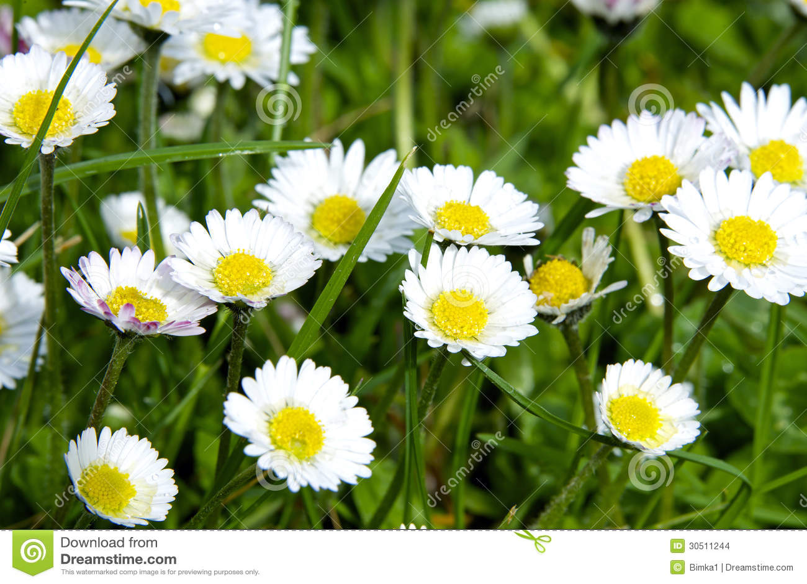 Green Grass Wild Daisy Flowers Stock Photo Image Of Nobody Petal