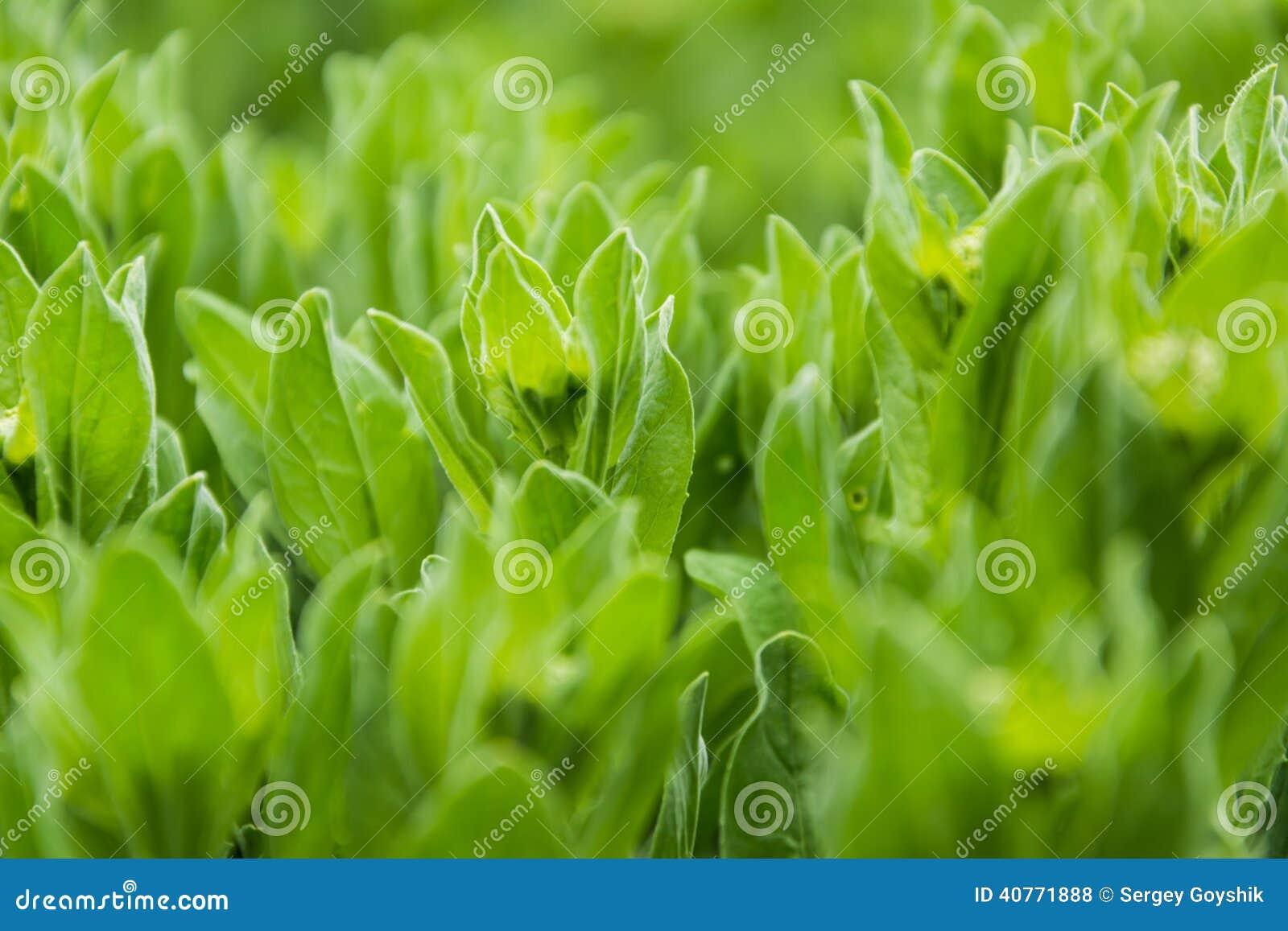 Green grass - wild lettuce