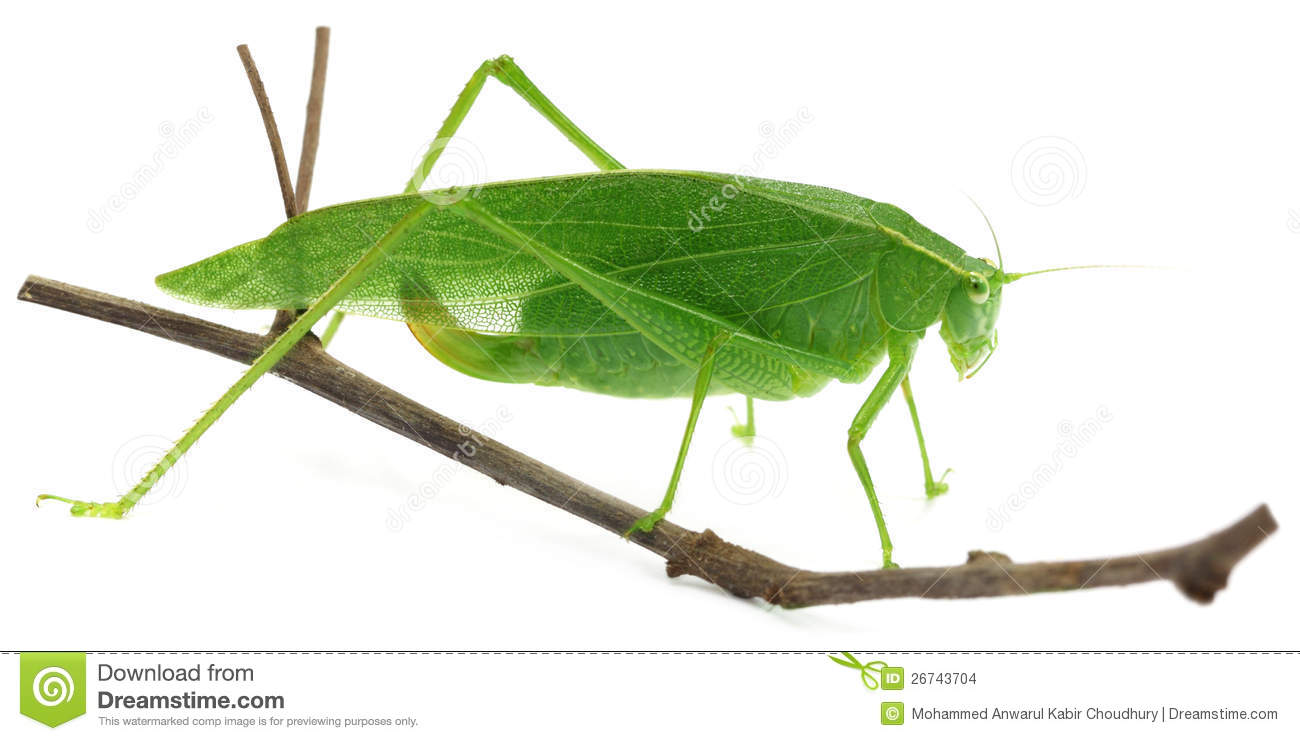 Green grasshopper scientific name