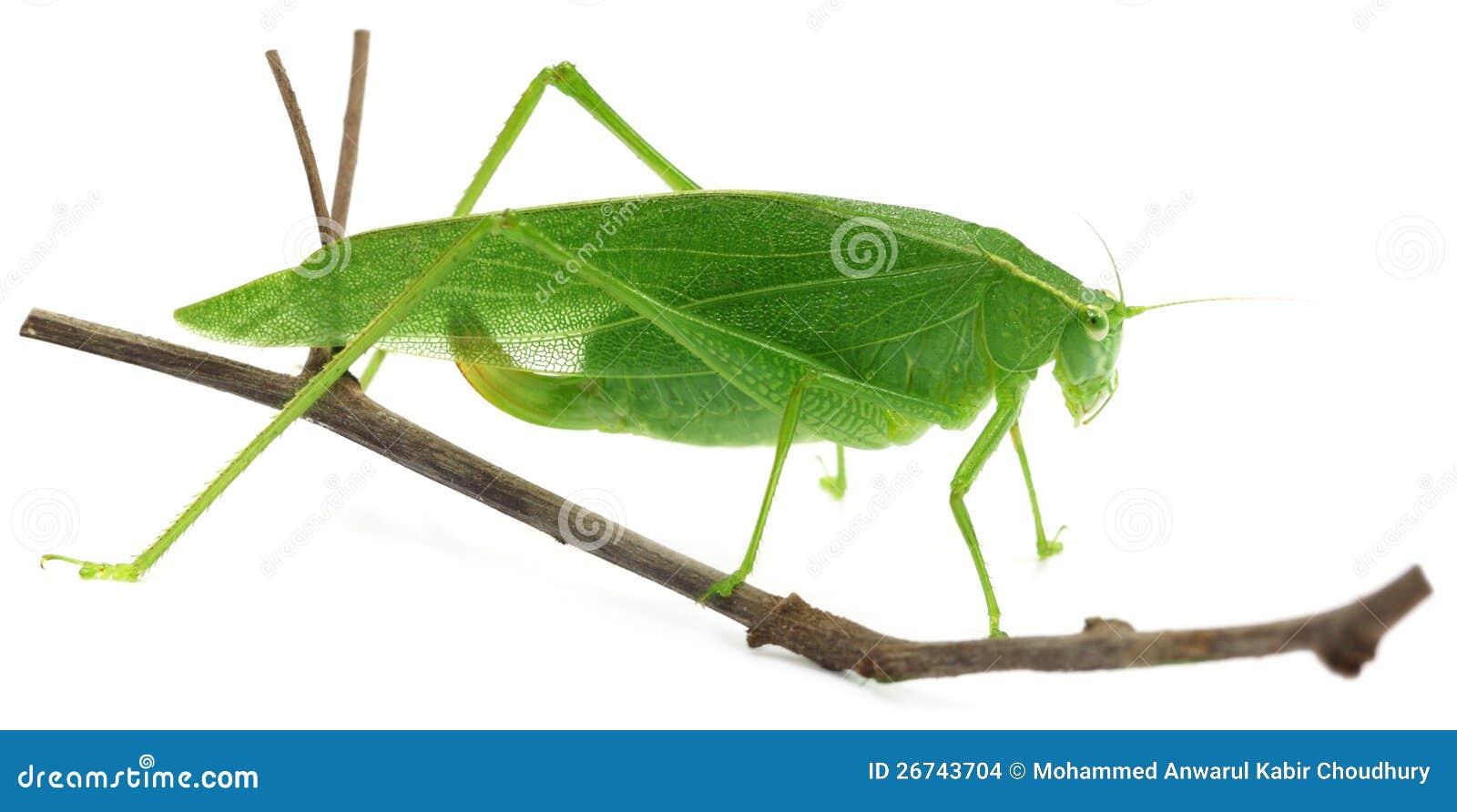 Green grasshopper stock photo. Image of cricket, close ...