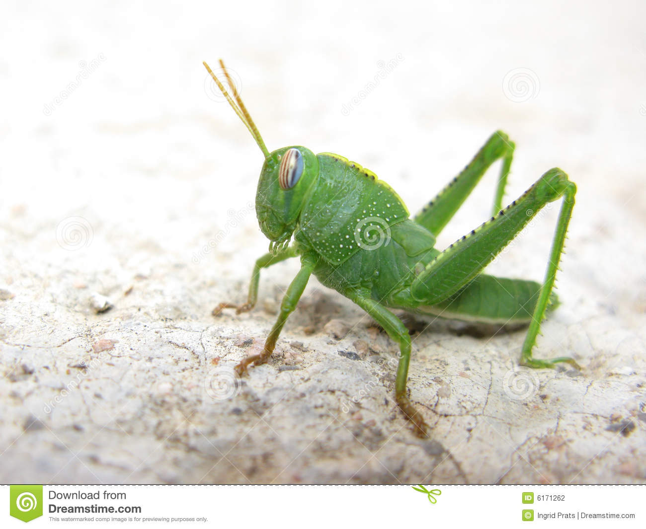 Green grasshopper stock photo. Image of insect, nature ...