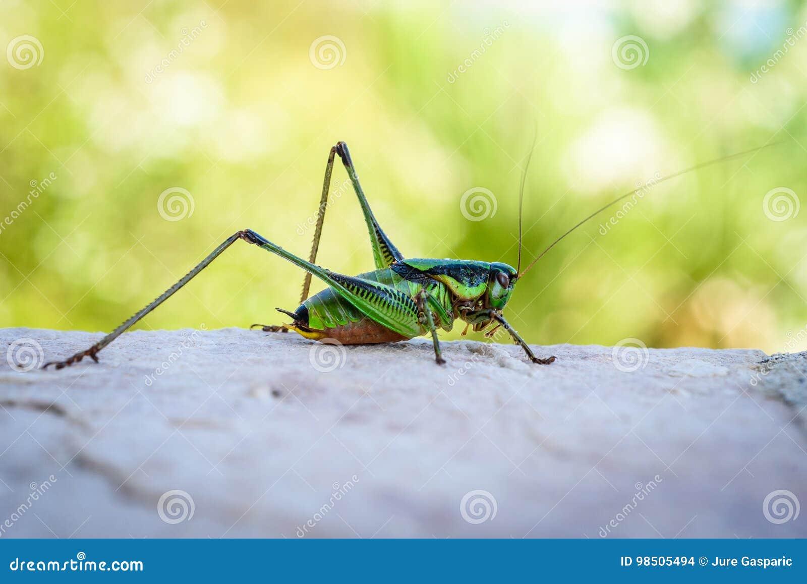 Green grasshopper or locust macro shot on a outdoor terrace.