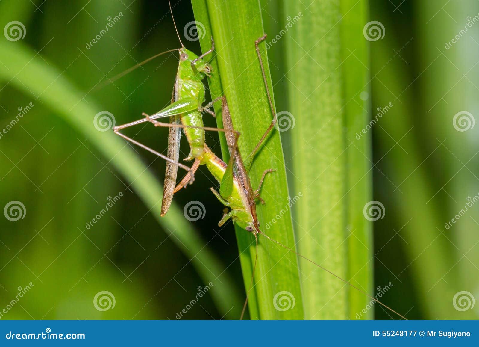 Green Grasshopper mating stock image. Image of macro - 55248177