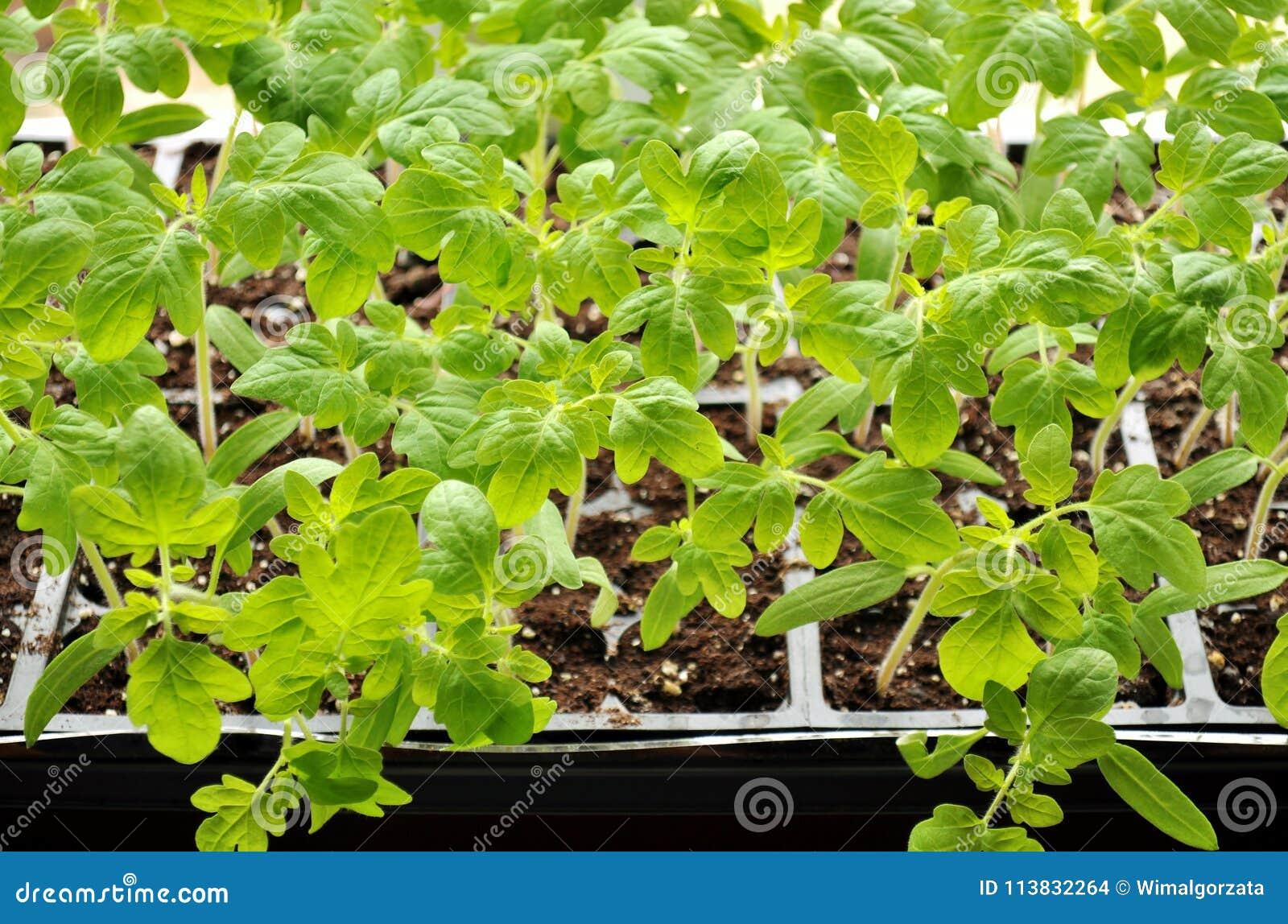 tomato seedlings growing towards the sunlight on windowsill stock
