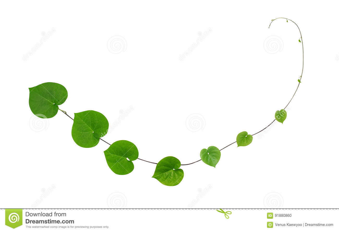 green heart shaped leaves climbing plant isolated on white backg