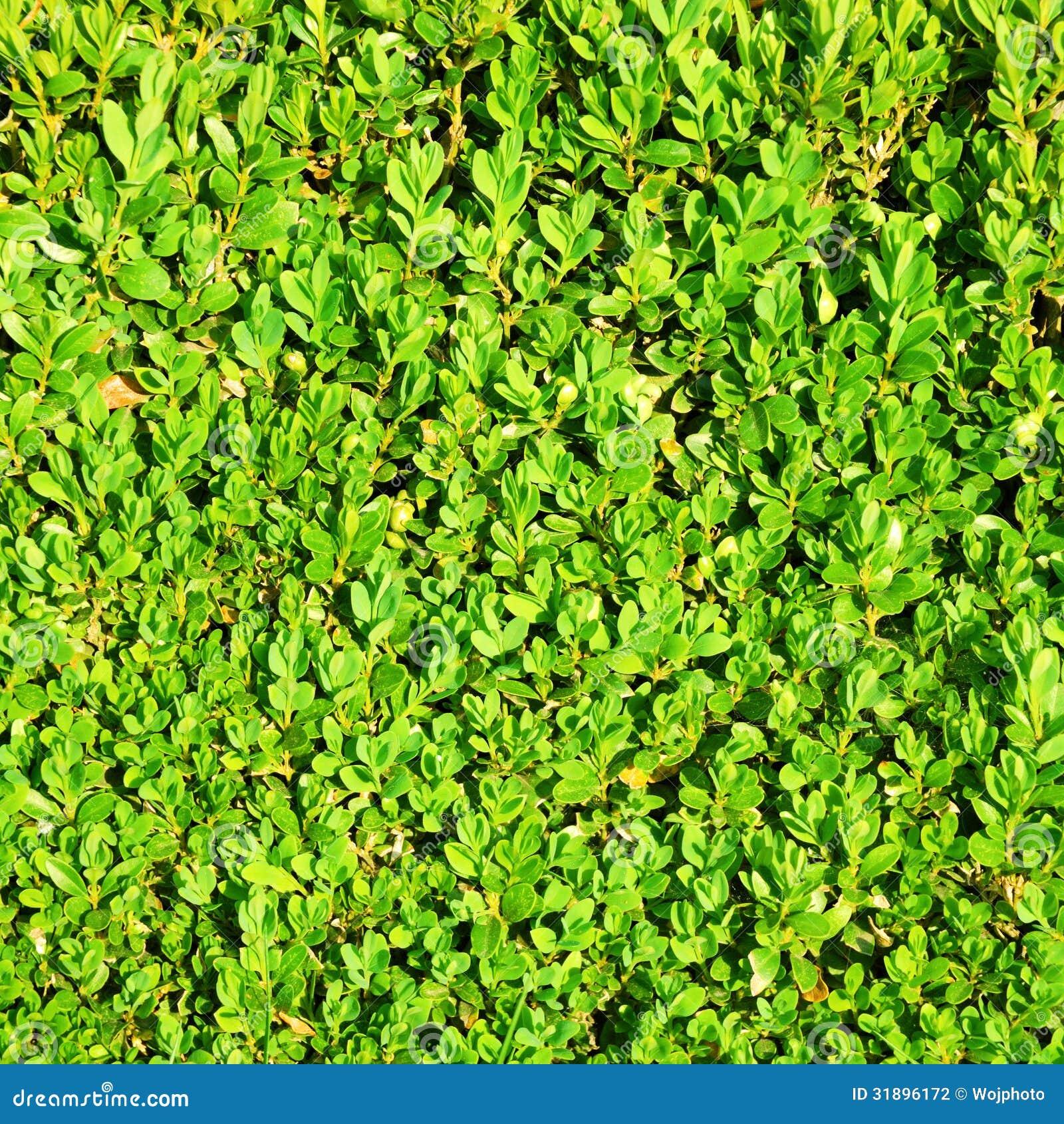 Green Hedge Bush Stock Photography - Image: 31896172