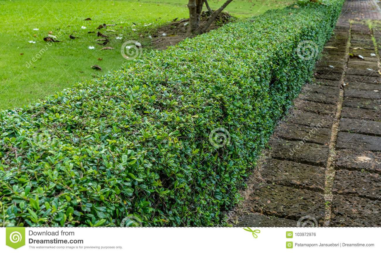 Green hedge fence