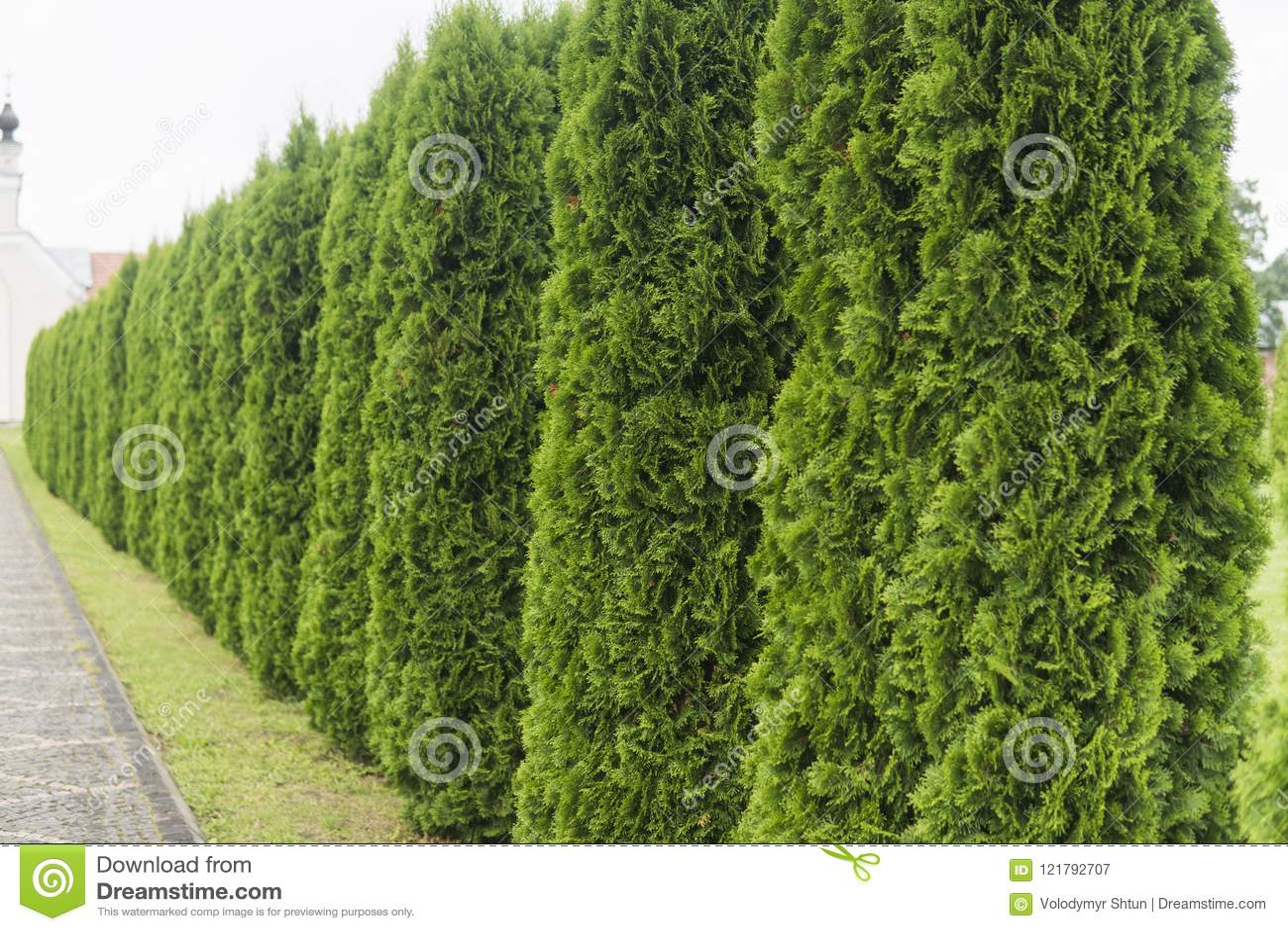 green hedge of thuja trees green hedge of the tui tree nature