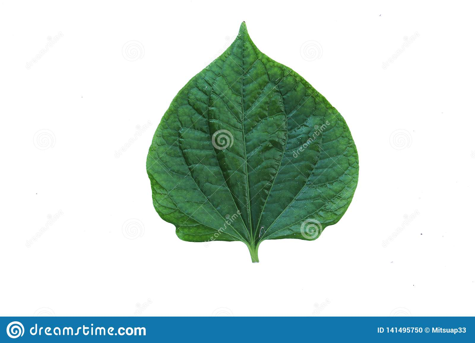 Green Herbs chaplo leaf isolated on white background