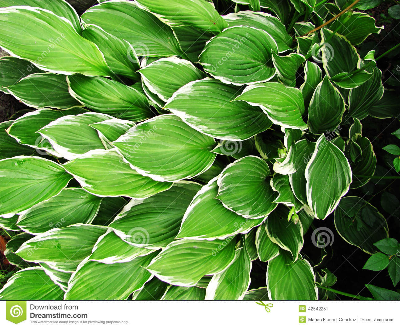 Green Hostas With White Edges Stock Image Image Of Herbaceous