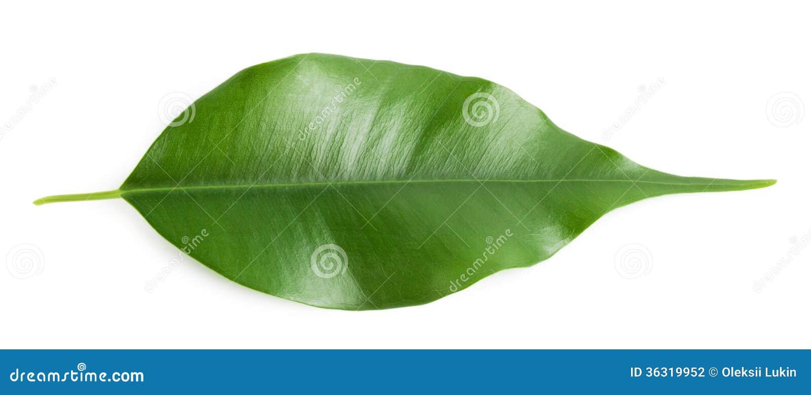 Green hot orange leaf stock photo image of foliage for Amber leaf