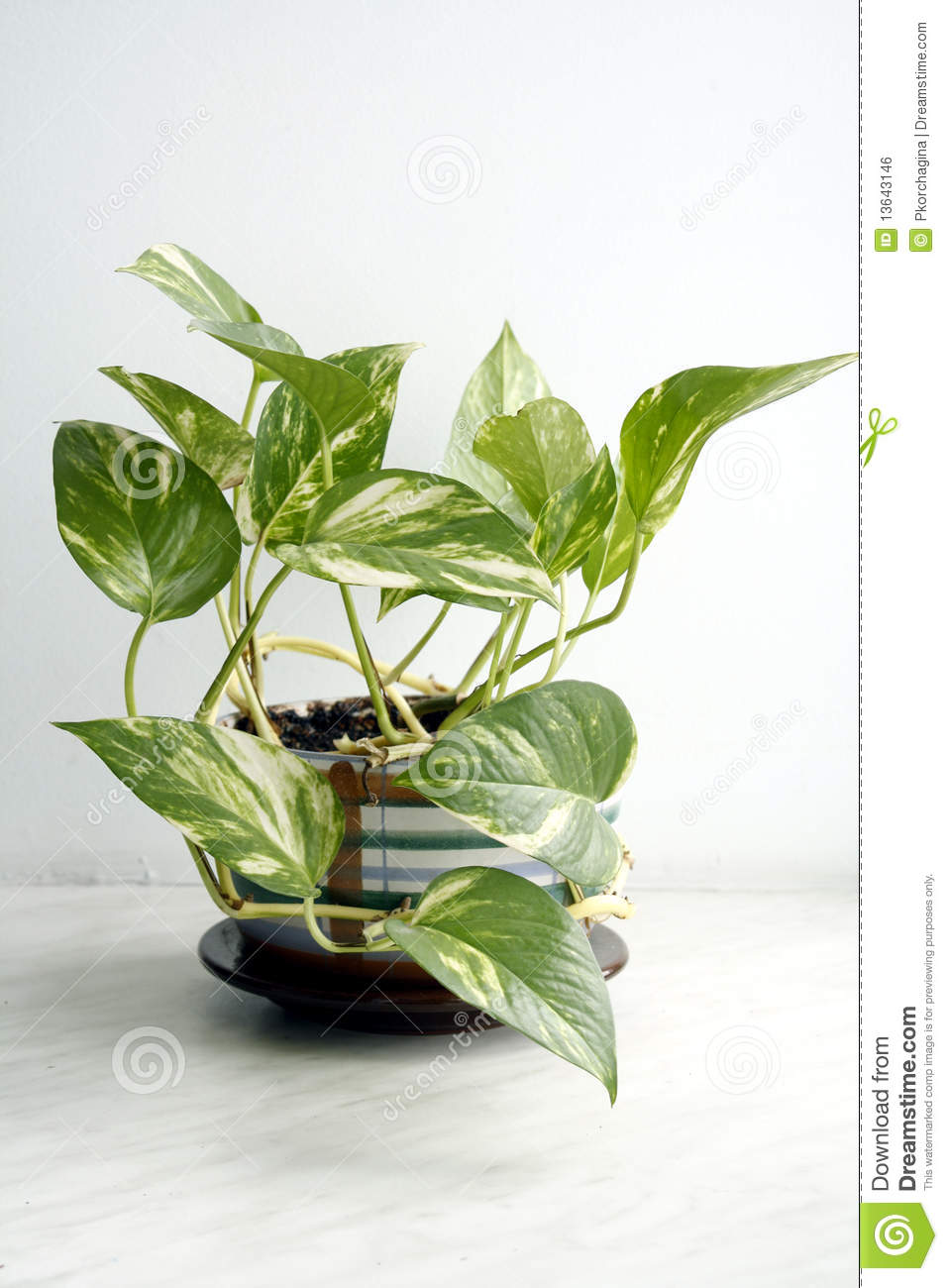 Green house plant stock photo image of leaf plant house 13643146 - Green leafy indoor plants ...