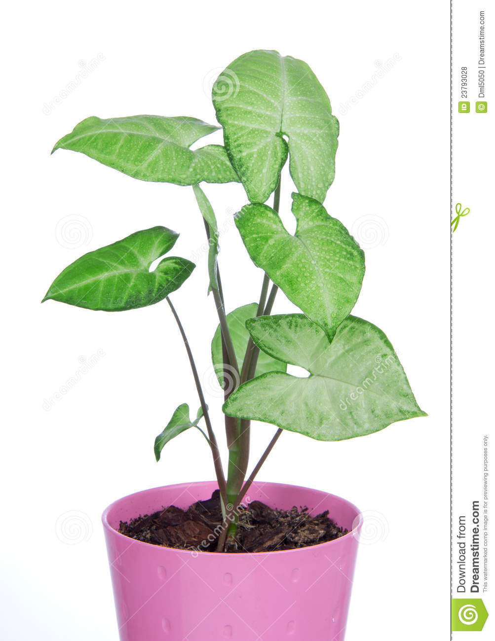 Green House Plant In Pink Pot Royalty Free Stock Photos