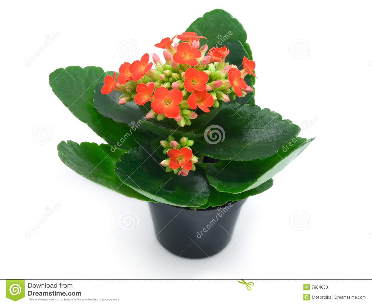 Green Houseplants With Red Flowers