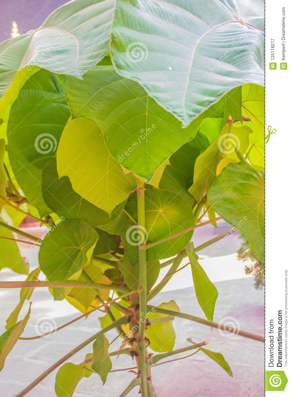 Green Huge Leaves Of Macaranga Gigantea Tree A Fast Growing Evergreen Tree Native To South East Asia The Large Leaves Contain Bi Stock Image Image Of Ferrugineus Lower 125118217