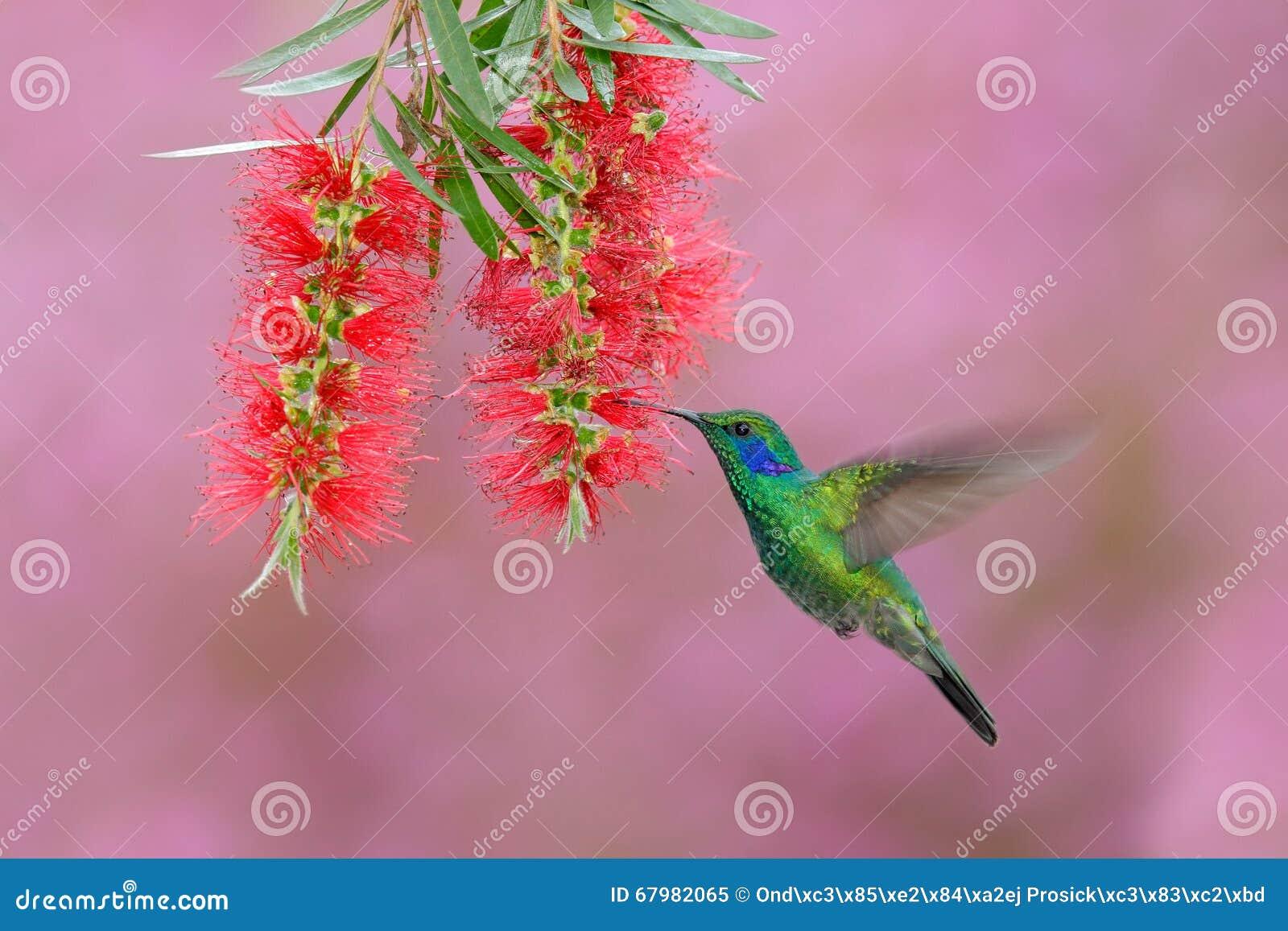 Green hummingbird Green Violet-ear, Colibri thalassinus, flying next to beautiful pink and violet flower, Savegre, Panama