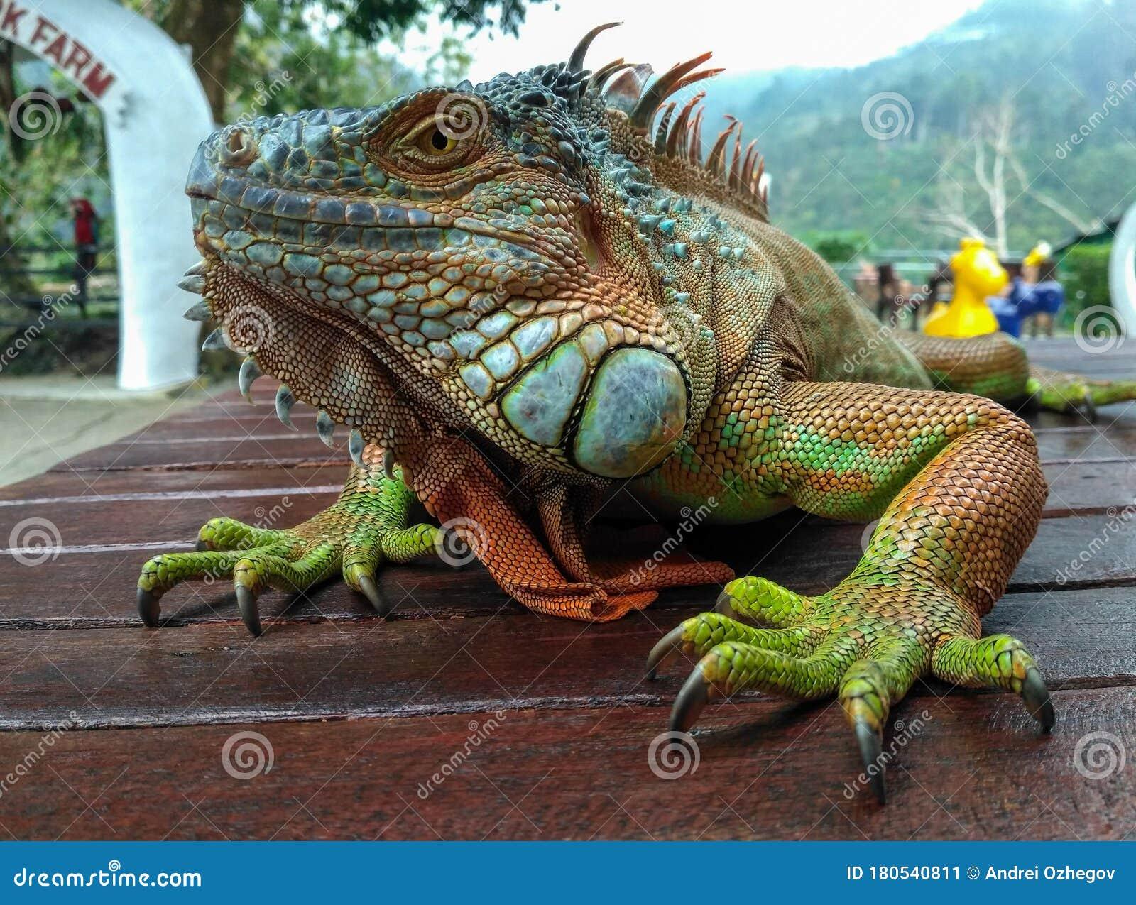 719 Blue Orange Iguana Photos Free Royalty Free Stock Photos From Dreamstime Iguana red head blue body images free
