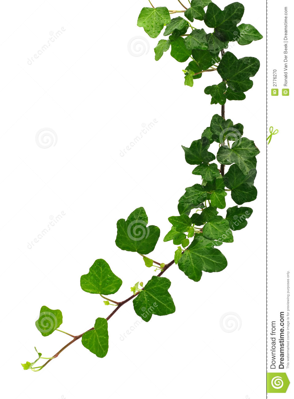 Green ivy isolated on white background.