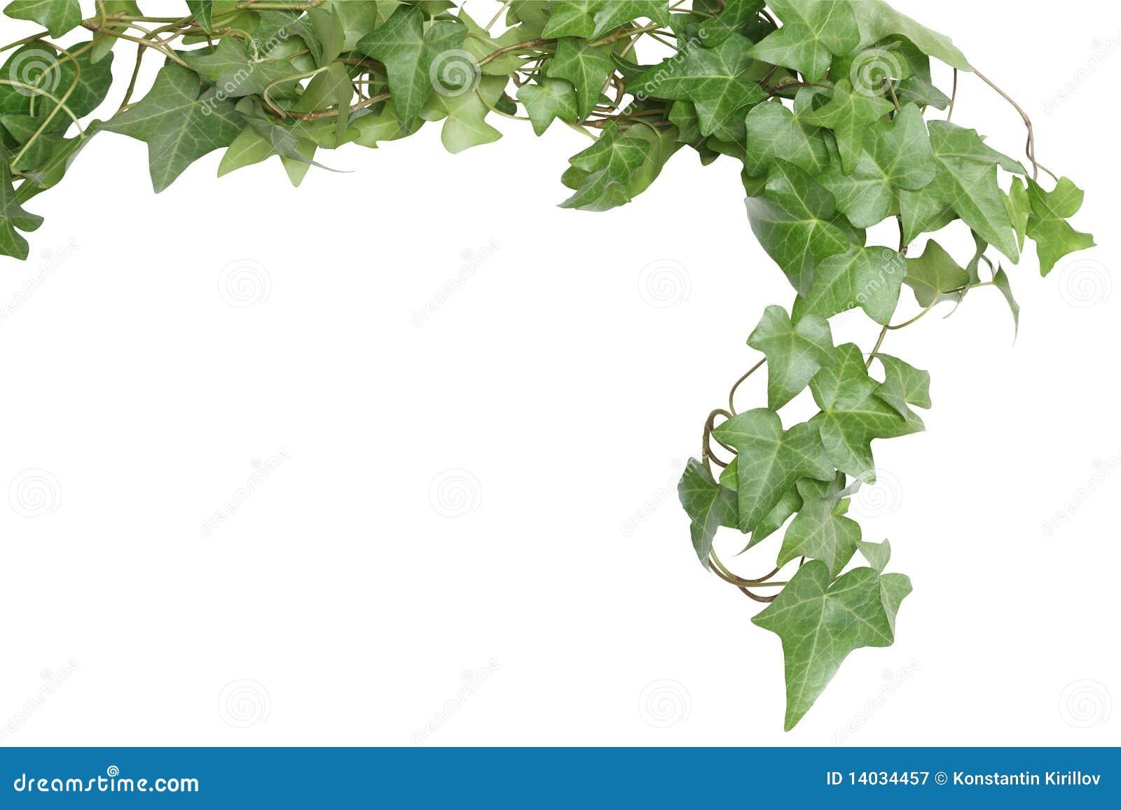 ivy border stock photo image of springtime botany plant 1507866