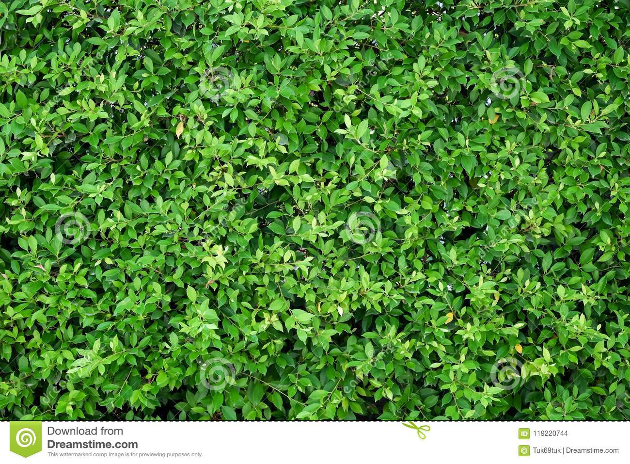 Green Ivy Bush Wall In Garden Stock Photo , Image of park