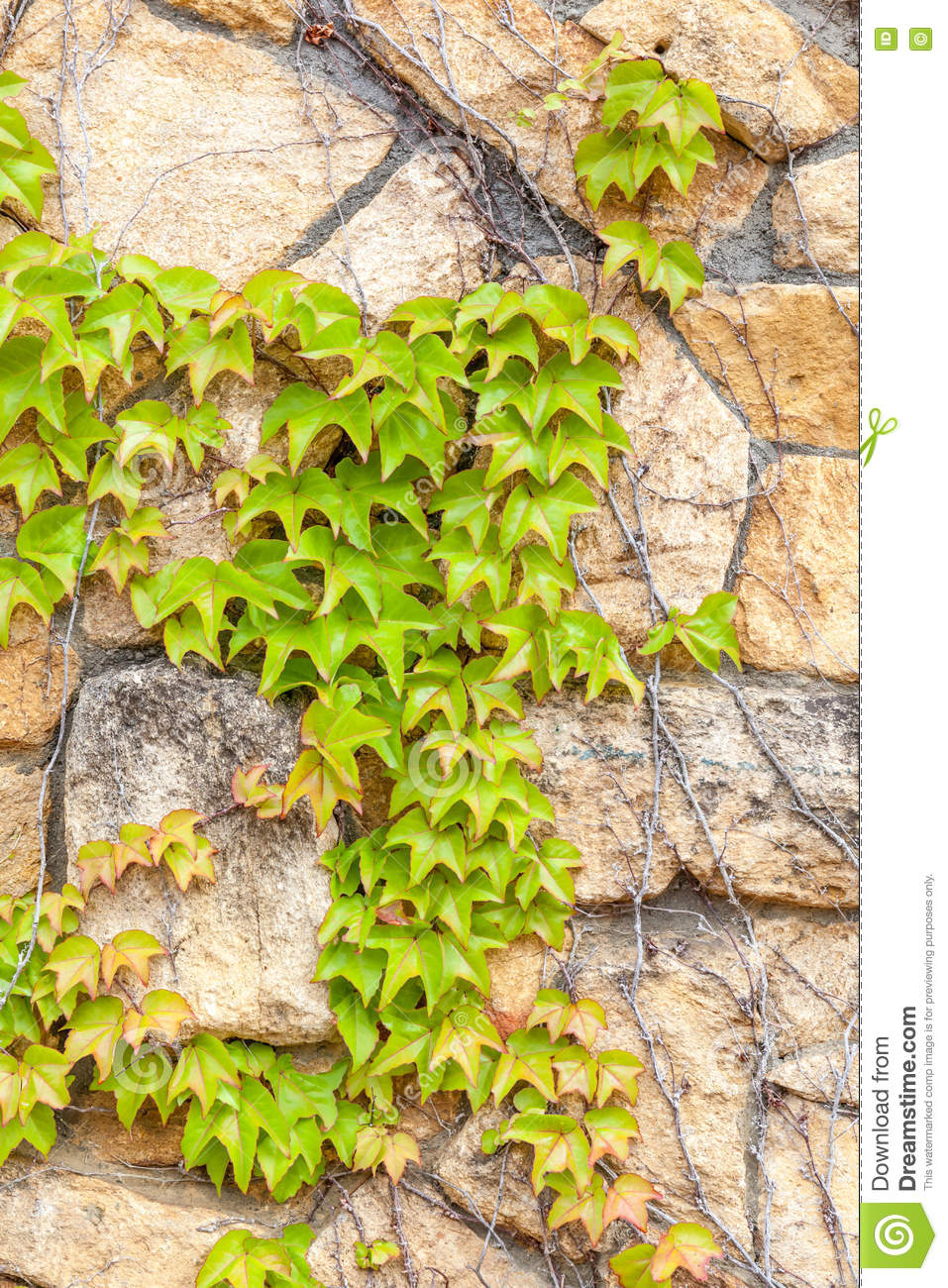 Green Ivy Climb On Brown Brick Wall, Exterior Decoration. Stock ...