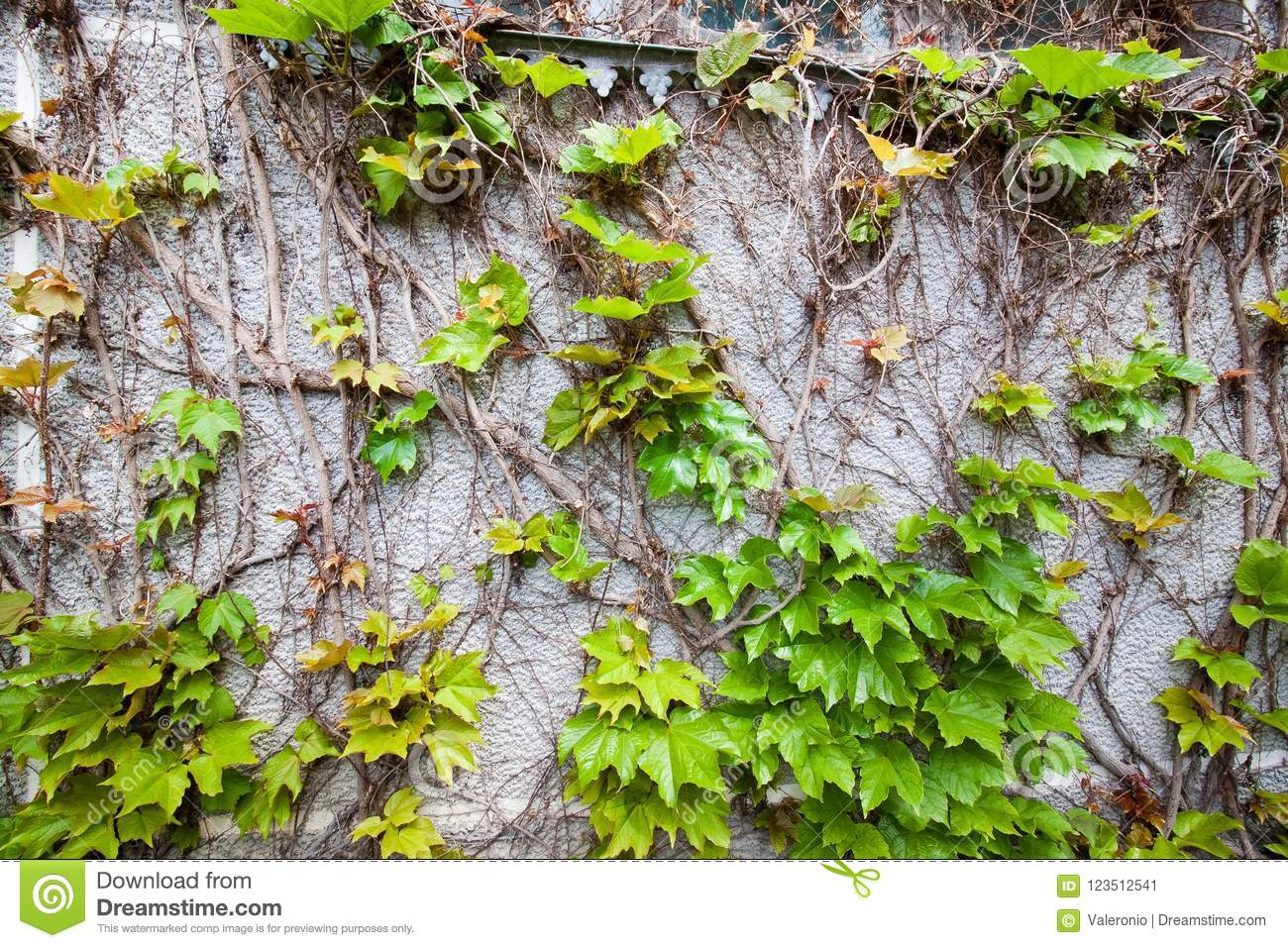 Red and green ivy leaves in a white rectangular frame on a gray concrete wall in autumn, background texture surface photo