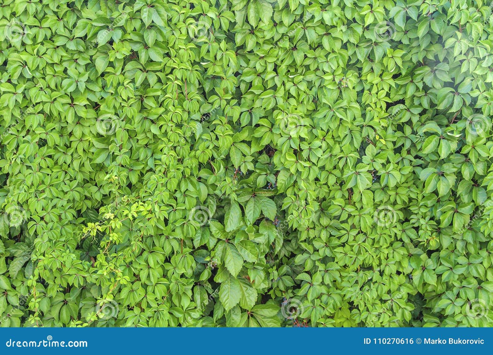 Green Ivy Plant Wall Texture Like Garden Seamless Bush Fence