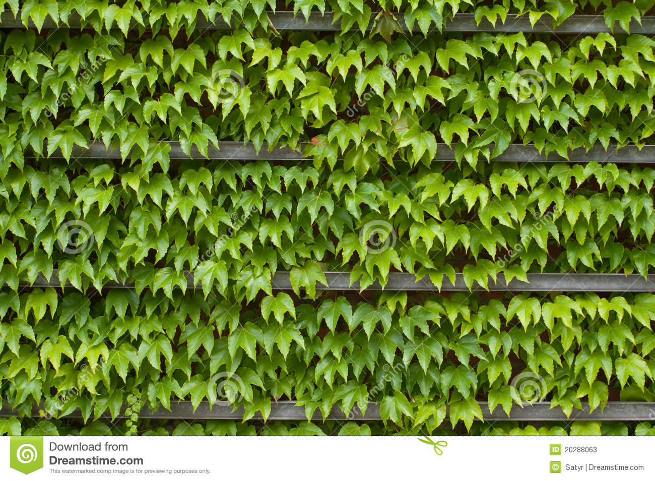 Green Ivy Texture Stock Image Image Of Flora Color