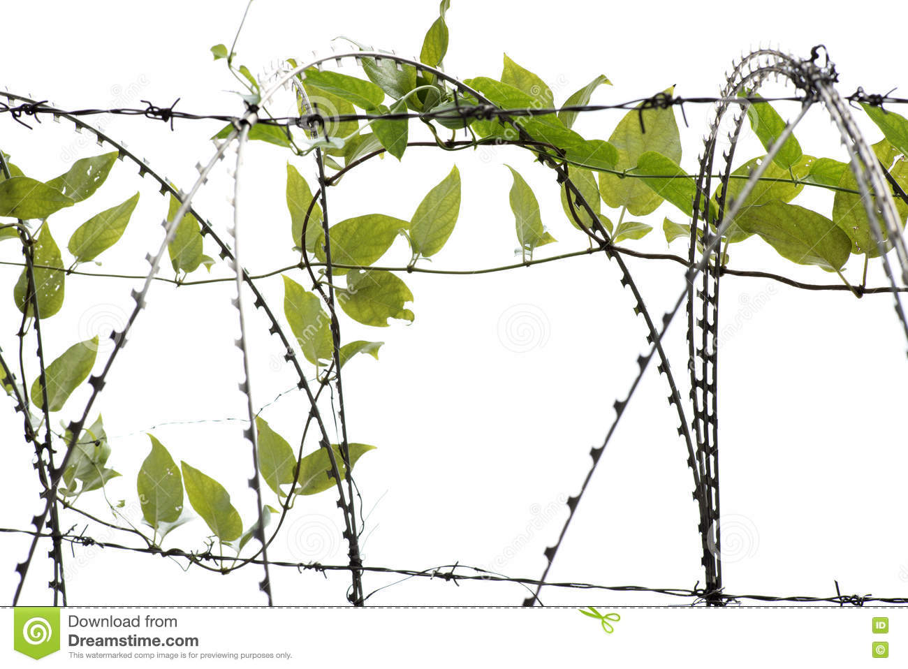 Green ivy vine leaves stock photo. Image of barb, industry - 77282380