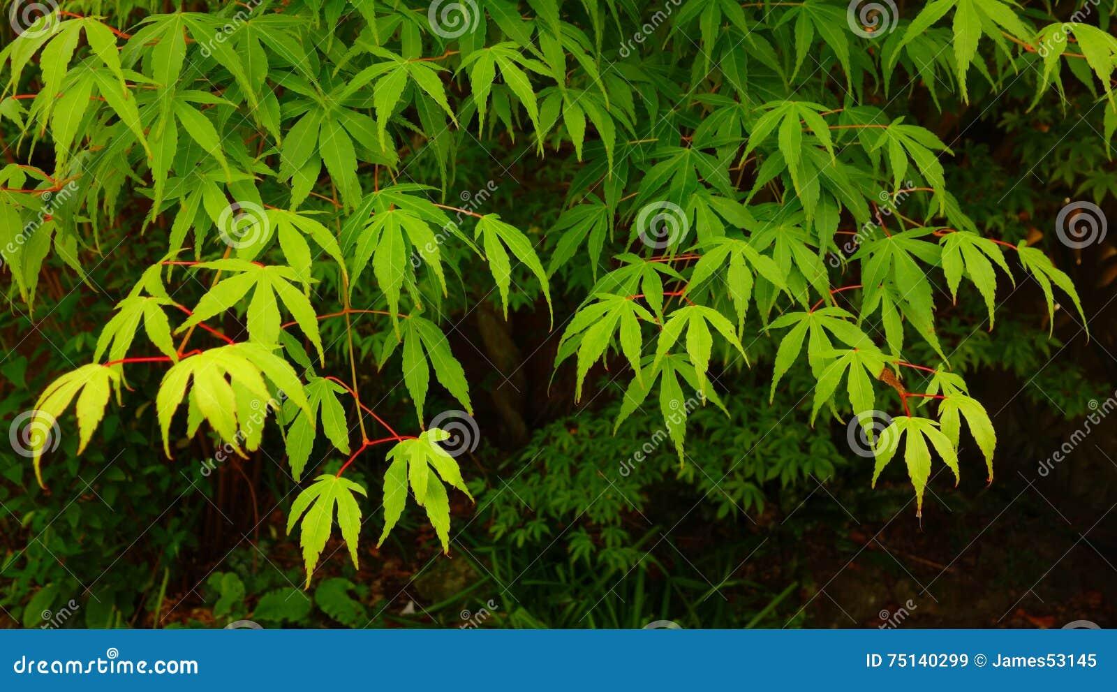 Acero Giapponese Verde green japanese maple foliage stock image - image of palmatum